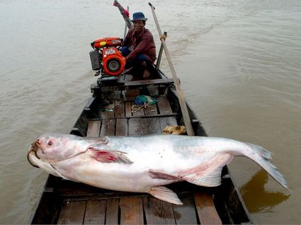 mekong-giant-catfish
